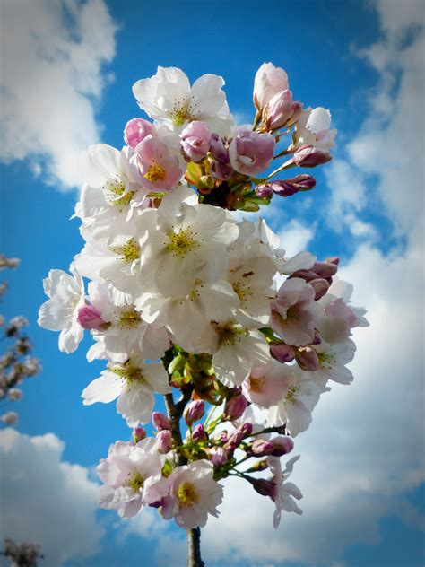 Free Images : branch plant sky flower petal bloom