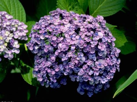 deadheading refers to 1924 best images about hydrangeas 1 on pinterest hydrangea flower hydrangea care and