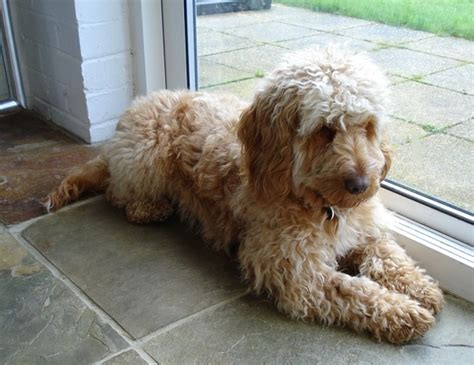 Do Cockapoo Mixes Shed by Hypoallergenic The Cockapoo Club Of Gb