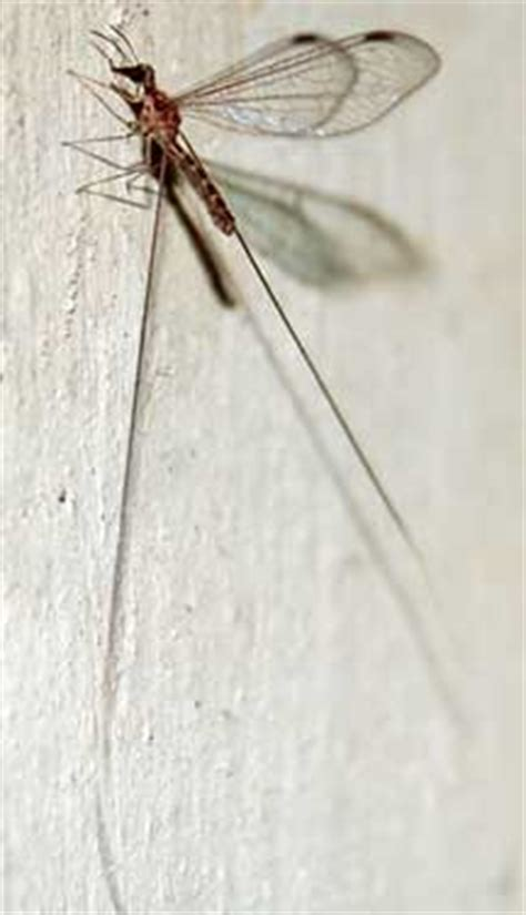 ribbon winged lacewing whats  bug