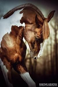 Portrait Of Paint Horse Stallion