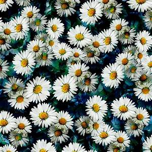 Daisy Background Quotes. QuotesGram