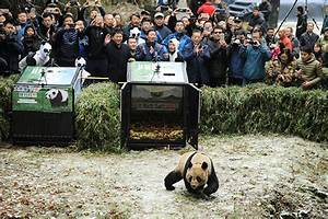 Panda pair released into wild in Sichuan - China ...