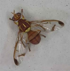 Egg of Fruit Fly images