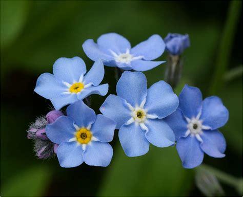 blume vergissmeinnicht bilder vergissmeinnicht foto bild pflanzen pilze flechten bl 252 ten kleinpflanzen