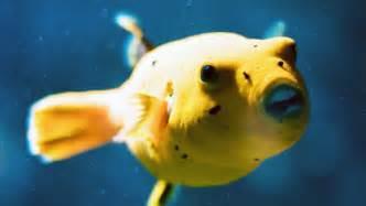 Dog Face Puffer Fish Teeth