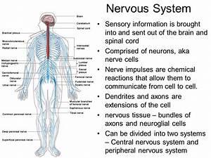 Body System Organization