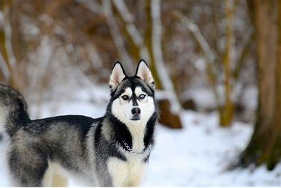 Husky Snow Siberian Dogs Wallpapers Dog Background