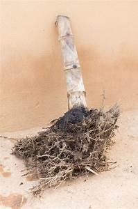 Bordüre Entfernen Ohne Tapete Zu Beschädigen : bambus ausgraben so geht 39 s ohne ihn zu besch digen ~ Markanthonyermac.com Haus und Dekorationen