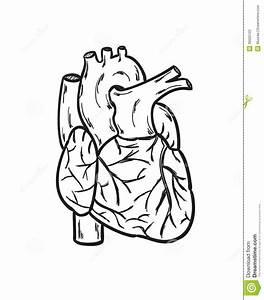 Human Heart Simple Drawing At Getdrawings