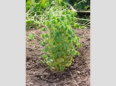 Growing Oca New Zealand Yam Successfully In Your Garden