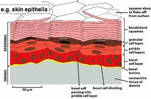 Bio230  Lecture 04 Tissue Morphogenesis
