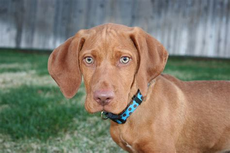 Do Vizsla Puppies Shed by Amazing Vizslas What Is A Vizsla And How Does It Look