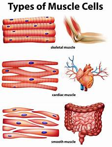 Diagram Showing Types Of Muscle Cells Stock Vector