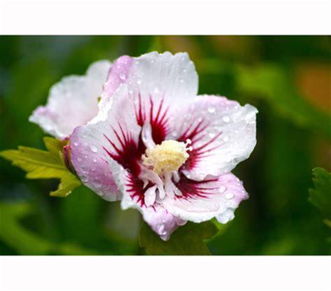 China Garten Pflanzen by Hibiscus China Chiffon Garten Eibisch Dehner Garten
