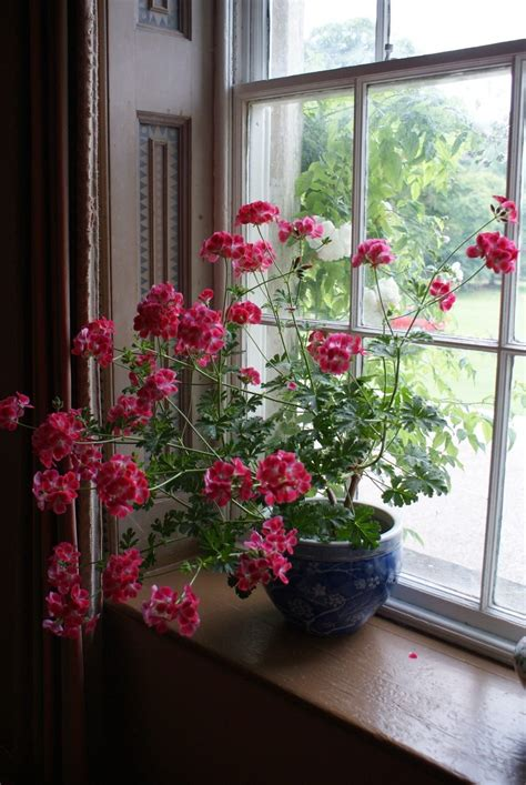 geranium indoors 10 самых популярных комнатных растений названия распространённых растений с фото ботаничка ru
