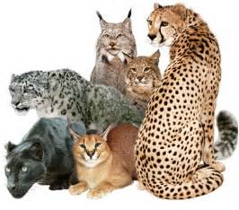 the big cat save the big cats images big cats wallpaper and background