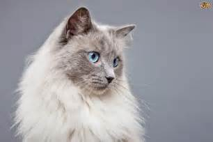 cats with blue beautiful blue eyed cats pets4homes