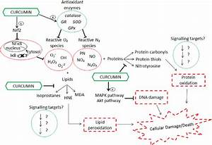 The Proposed Antioxidant Effects Of Curcumin Against Dna