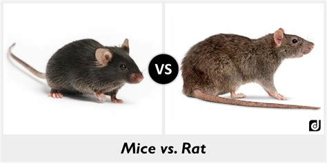 rat vs mouse difference between mice and rat