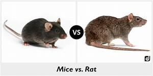 Difference Between Mice And Rat