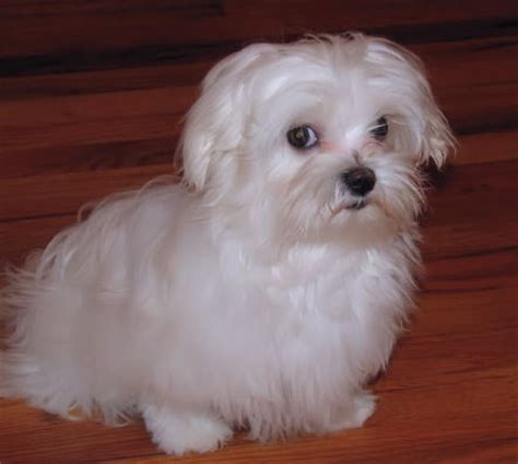 Information About White Maltese Yorkie Mix Yousenseinfo