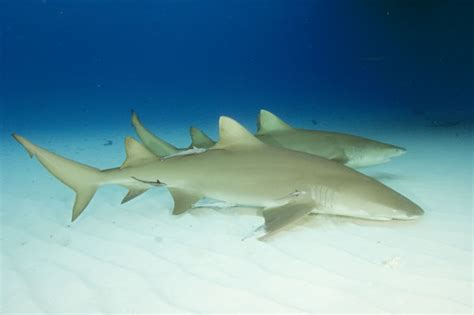 lemon shark shark ray central