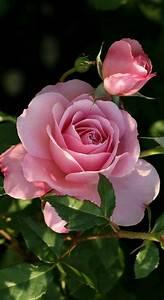 Langage Des Fleurs Pivoine : peinture fleur rose belles fleurs et planter des fleurs ~ Melissatoandfro.com Idées de Décoration
