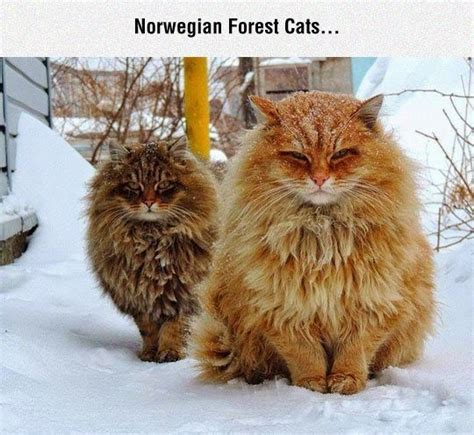 norwegian forest cats pictures   images
