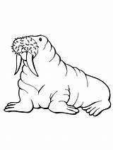 Walrus Coloring Pages Printable Drawing Arctic Animals Designlooter Realistic Drawings Getcoloringpages Clipartmag Bestcoloringpagesforkids 1600px 06kb 1200 sketch template