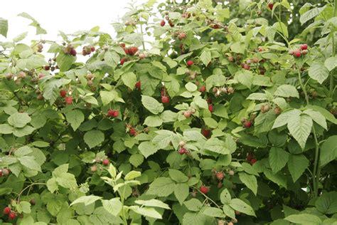 planter framboisier en pot framboisier planter et tailler ooreka
