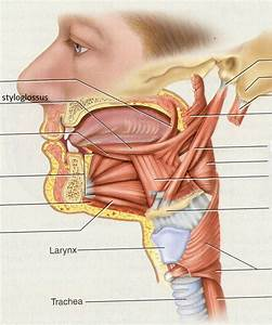 Muscles Of The Tongue  All Are Innervated By Hypoglossal