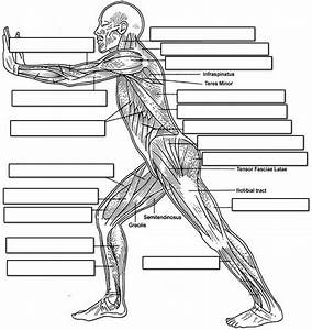 Label The Muscles Of The Body  Side View
