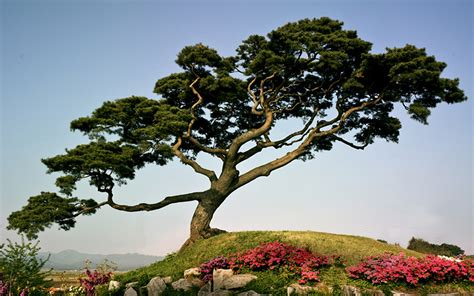 japanese trees japanese pine tree on a mountain wallpapers and images wallpapers pictures photos
