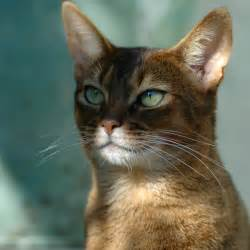 abyssinian cat abyssinian cat colors top cat directory