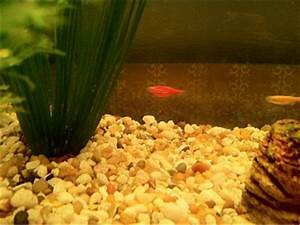 Glofish bloated.. Pregnant or ?? - Aquarium Advice ...