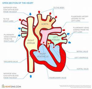 Simple Human Heart Diagram For Kids