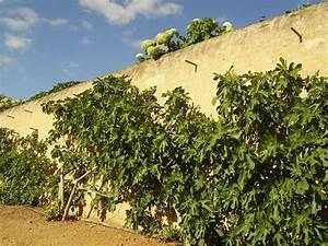 Tailler Les Kiwis : taille des autres arbustes fruitiers ou lianes fruiti res ~ Farleysfitness.com Idées de Décoration