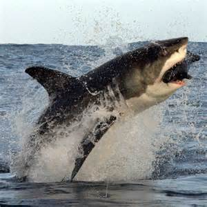 Great White Shark Hunting