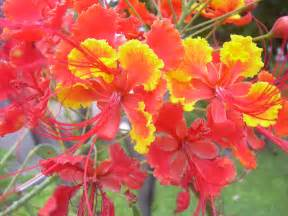 Barbados National Flower