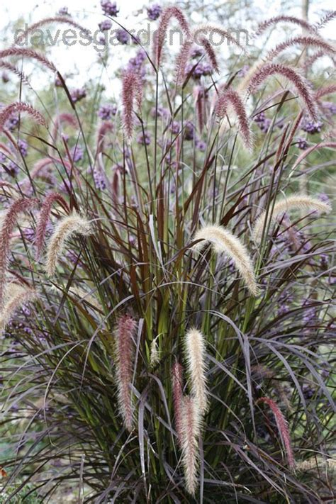 pennisetum setaceum rubrum purple grass 59 best images about garden and landscape on pinterest