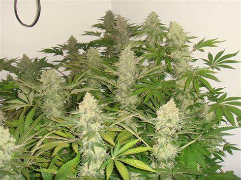 erreurs fr 233 quentes dans la culture du cannabis du growshop alchimia
