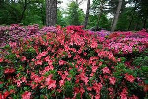Wann Blüht Der Rhododendron : aanplant van rhododendrons en azalea 39 s ~ Eleganceandgraceweddings.com Haus und Dekorationen