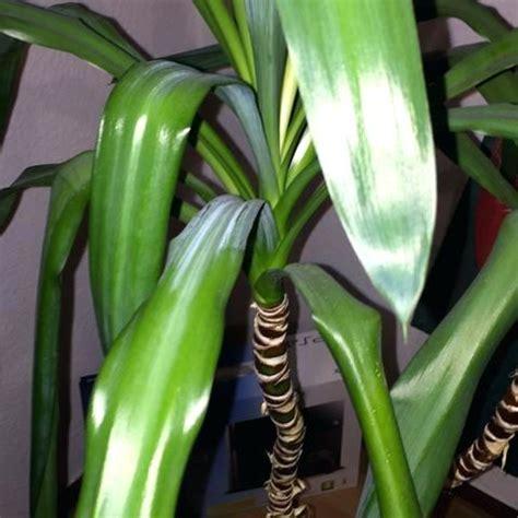 braune spitzen zimmerpflanzen zimmerpalmen sorten und pflege im aberblick zimmer palmen