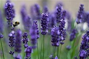 Wann Wird Lavendel Geschnitten : lavendel im garten tipps zum pflegen und schneiden ~ Lizthompson.info Haus und Dekorationen