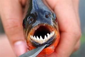 Ikan Terganas