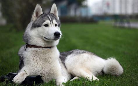 charming dogs   world siberian husky