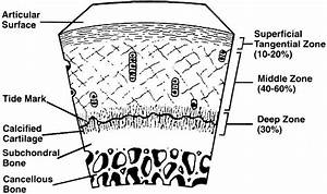 Articular Cartilage - Basic Science