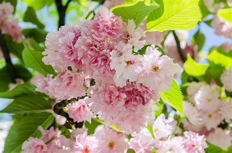 Pink Tree Flowers Of Prunus Serrulata Kanzan Branch