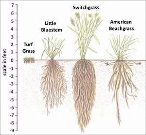 Turf grass has a very shallow root system compared to ...